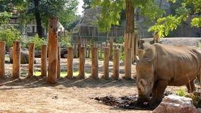 Rinoceronte en reserva protegida almacen de metraje de vídeo