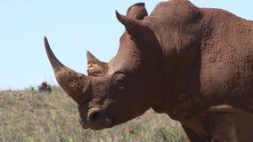Rinoceronte en Suráfrica, llena de fango almacen de metraje de vídeo