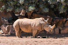 Rinoceronte en un día soleado caliente en el envoironment natural de la sabana fotografía de archivo libre de regalías