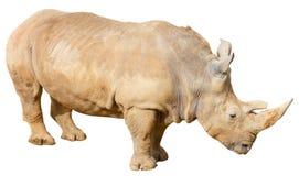 Rinoceronte en un fondo blanco Fotos de archivo libres de regalías