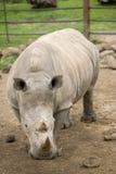 Rinoceronte en un safari imagen de archivo
