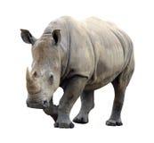 Rinoceronte enorme aislado Foto de archivo libre de regalías