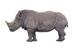 Rinoceronte enorme isolato immagine stock libera da diritti