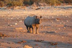 Rinoceronte Etosha Namibia Fotografie Stock Libere da Diritti