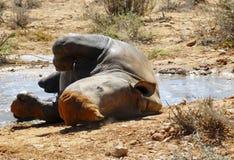 Rinoceronte feliz del blanco del bebé Fotos de archivo
