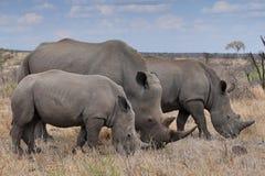 Rinoceronte femminile con 2 vitelli in Kruger NP, Sudafrica Immagine Stock