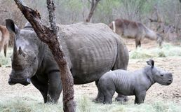 Rinoceronte femminile con il suo rinoceronte del bambino nella savanna Immagine Stock