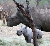 Rinoceronte femminile con il suo rinoceronte del bambino nella savanna Immagini Stock
