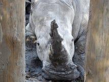 Rinoceronte fra gli alberini di legno fotografia stock libera da diritti