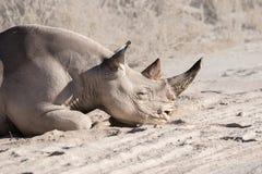 Rinoceronte gancho-labiado negro que pone en el polvo Foto de archivo libre de regalías