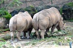 Rinoceronte gordo Fotos de archivo libres de regalías