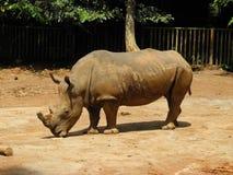 Rinoceronte grande, Malasia Foto de archivo