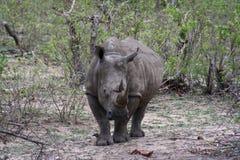Rinoceronte immobile Fotografia Stock Libera da Diritti