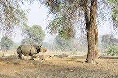 Rinoceronte indiano Foto de Stock Royalty Free