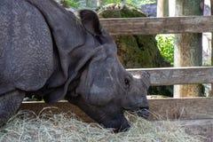 Rinoceronte indiano foto de stock