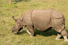 Rinoceronte indiano Imagem de Stock Royalty Free