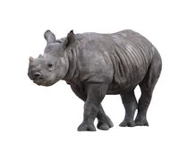 Rinoceronte indiano Imagens de Stock Royalty Free