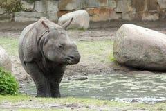 Rinoceronte indiano Fotografia Stock Libera da Diritti