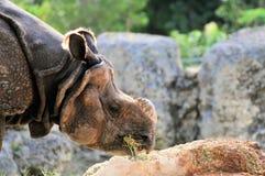 Rinoceronte indiano che mangia fieno fotografia stock