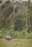 Rinoceronte indiano pericoloso nell'habitat della natura Fotografie Stock Libere da Diritti