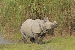 Rinoceronte indiano su una sponda del fiume Immagini Stock