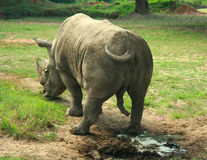 Rinoceronte indiano (unicornis del rinoceronte) Fotografia Stock