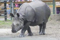 Rinoceronte indio Imagen de archivo libre de regalías