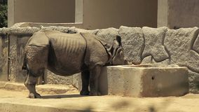 Rinoceronte indio que come su comida