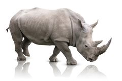 Rinoceronte isolado Foto de Stock