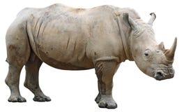 Rinoceronte isolado no branco Foto de Stock