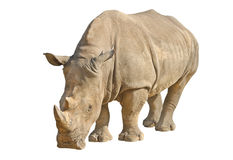 Rinoceronte isolado no branco com trajeto de grampeamento Foto de Stock Royalty Free