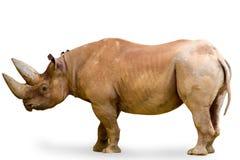 Rinoceronte isolato su bianco Fotografie Stock Libere da Diritti