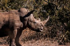 rinoceronte Lama-endurecido imagens de stock royalty free