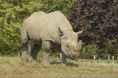 Rinoceronte masculino Foto de Stock Royalty Free
