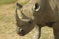 Rinoceronte masculino Imagem de Stock