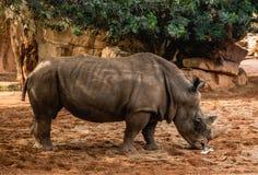 Rinoceronte masculino Imagen de archivo libre de regalías