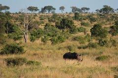 Rinoceronte na grama Imagem de Stock Royalty Free