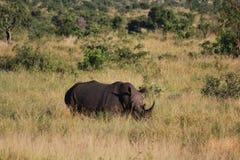 Rinoceronte na grama Foto de Stock