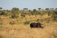 Rinoceronte na grama Foto de Stock Royalty Free