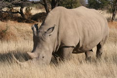 Rinoceronte, Namibia Fotografía de archivo
