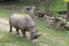Rinoceronte stock photos