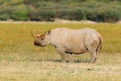 Rinoceronte negro Fotografía de archivo libre de regalías