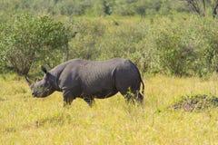 Rinoceronte negro Imagen de archivo libre de regalías