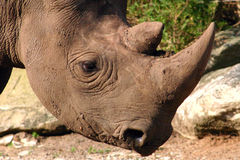 Rinoceronte negro Imágenes de archivo libres de regalías
