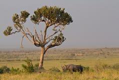 Rinoceronte negro bajo un árbol del euforbio Imagen de archivo libre de regalías