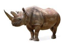Rinoceronte negro (bicornis del Diceros) Foto de archivo