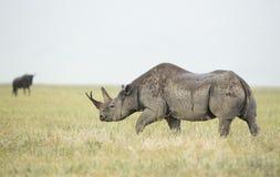 Rinoceronte negro (bicornis del Diceros) en Tanzania Imagen de archivo libre de regalías