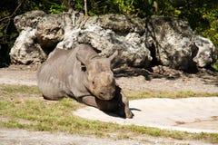 Rinoceronte negro del este en la tierra Fotografía de archivo