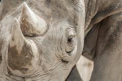 Rinoceronte negro del este (michaeli de los bicornis del Diceros) Fotografía de archivo