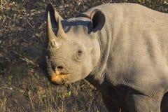 Rinoceronte negro en los 3 salvajes Imagenes de archivo